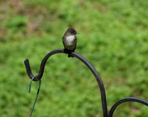 eastern phoebe tyrant flycatcher bird