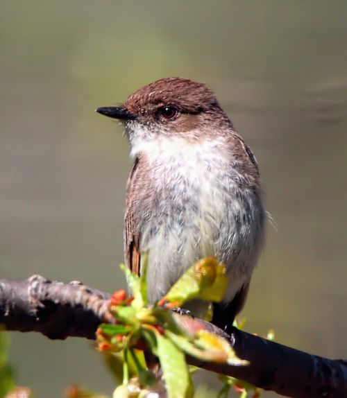 eastern phoebe flycatcher bird