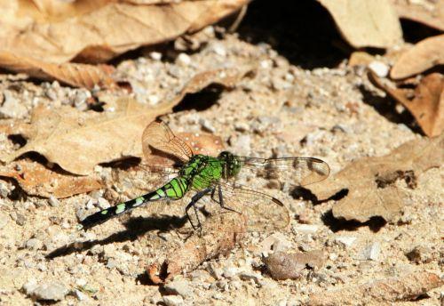 Eastern Pondhawk Dragonfly 2