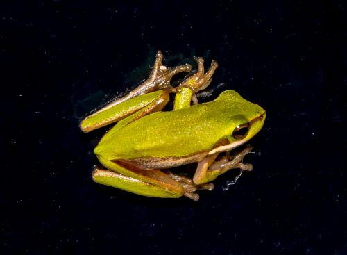 eastern sedge frog eastern dwarf tree frog litoria fallax