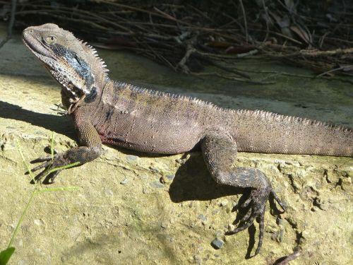 eastern water dragon lizard reptile eastern water dragon