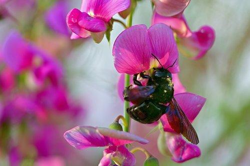 eastern wood-bee  vetch  garden