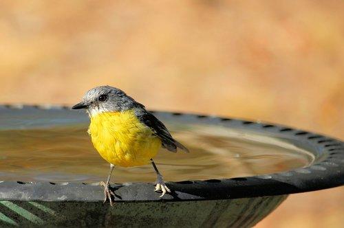 eastern yellow robin  eopsaltria australis  yellow robin