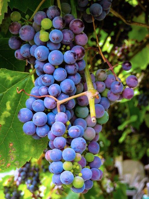 eat  food  grapes