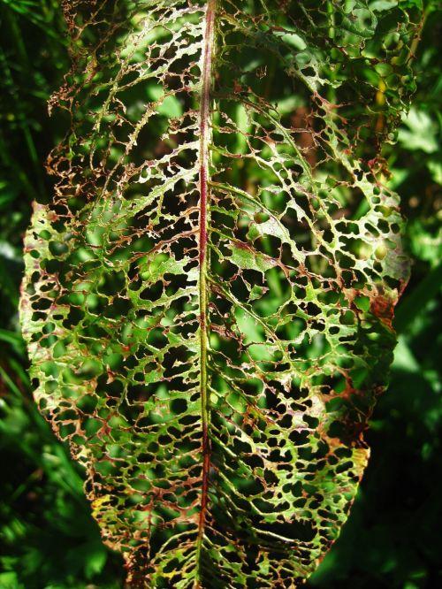 eaten away leaf sorrel leaf green