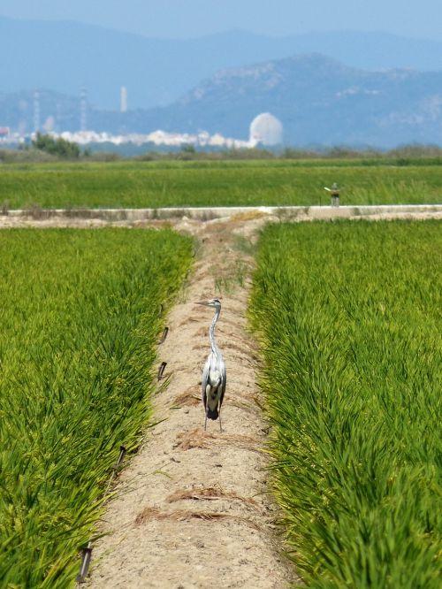 ebro delta paddy kingfisher