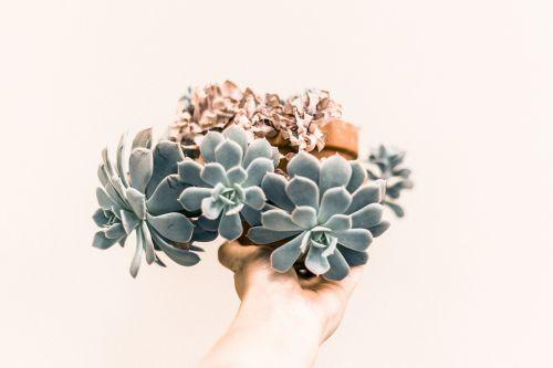 echeveria green plant