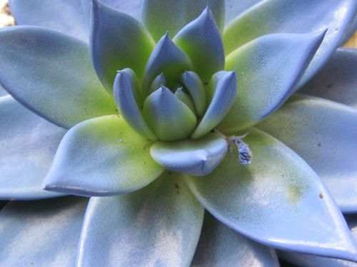 echeveria blue flower blossom