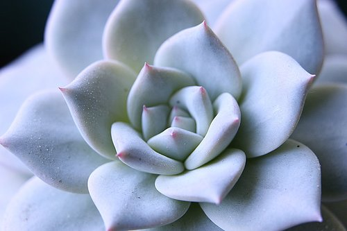 echeveria  juicy  ornamental