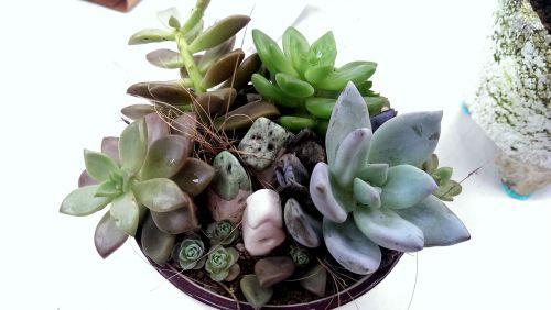 echeveria micro-pot potted plants