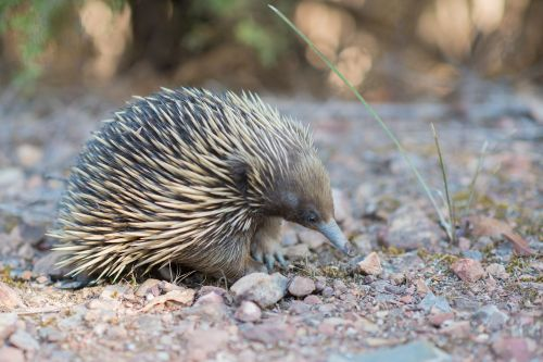 echidna spiny anteater tachyglossidae