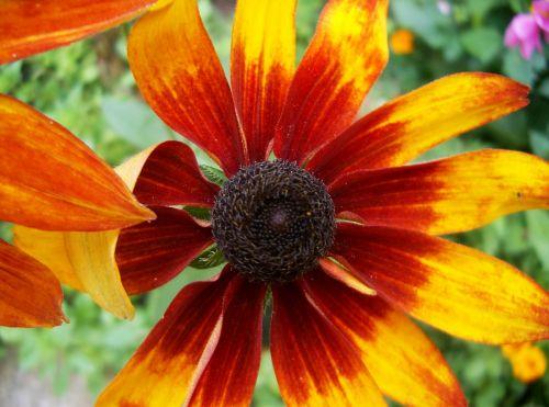 echinacea yellow reddish