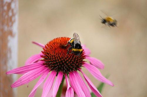 echinacea  bumble bee  coneflower