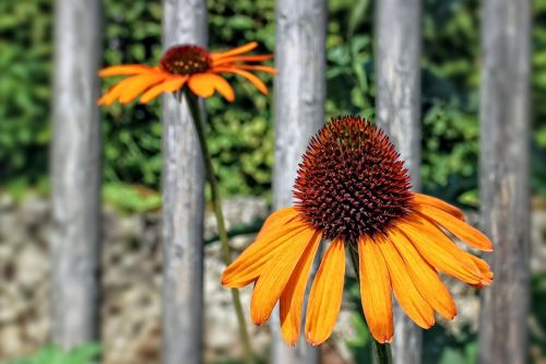 echinacea herbaceous flowering plant sun hat