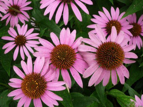 echinacea herb medicinal