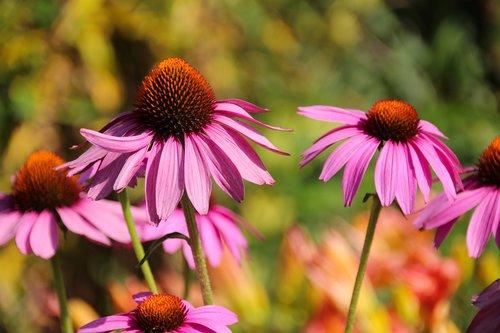 echinacea purpura  composites  coneflower