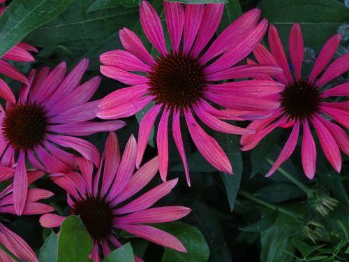 echinacea purpurea,saulės skrybėlė,Echinacea,violetinė voveraitė,violetinė spindesys sonnenhut,šviečianti jautiena,raudona švytėlydžio violetinė žievė