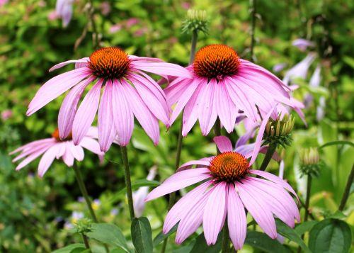 Echinacea, echinacea & nbsp, gėlė, gėlė, violetinė, violetinė, širdis, kvepalai, tekstūra, minkštas, centras, tylus, ramus, makro, grožis, gamta, dygliuotas, aštrus, keturi, orkaitė, stumti, augti, ežiuolė