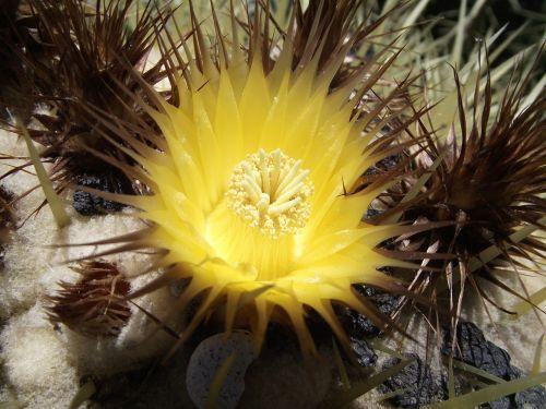 echinocactus grusonil plant