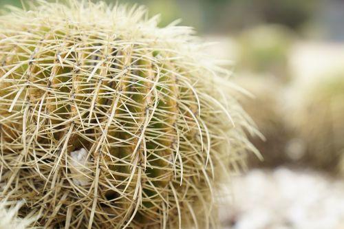 echinocgtus grusonii cactus spikes