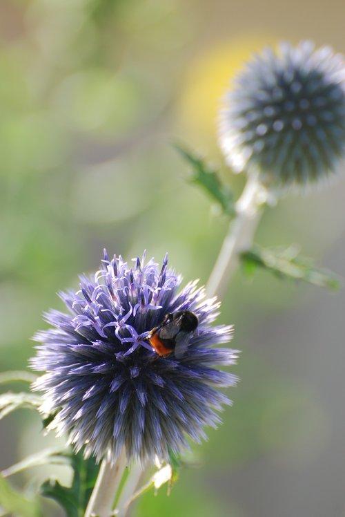 echinops  thistle  bee