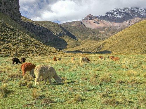 ecuador  plateau  alpacas