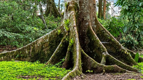 ecuador  rainforest  tree