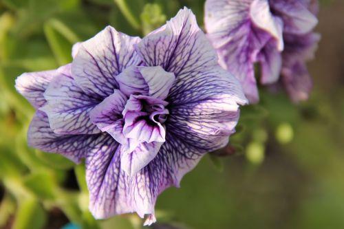 edelgeranie blossom bloom