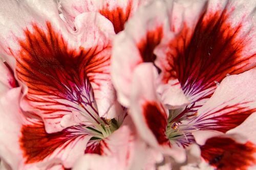 edelgeranie pelargonium flower
