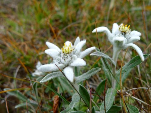 edelweiss plant flowers
