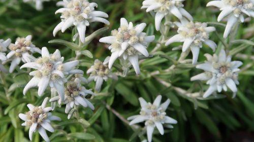 edelweiss swiss zermatt