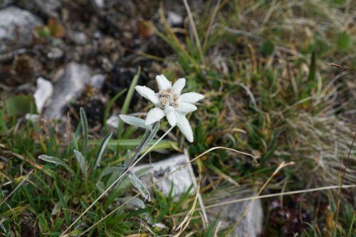 edelweiss alpine edelweiß leontopodium microdochium