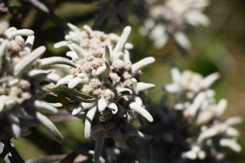 edelweiss  alpine  nature conservation