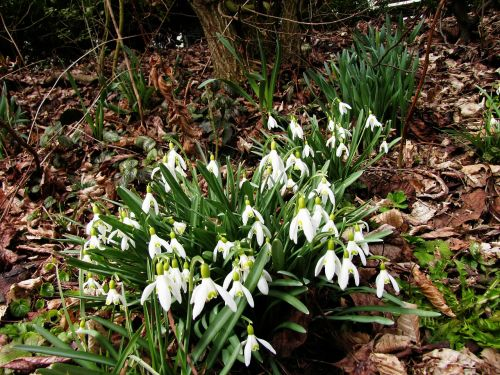 edge of the forest glade snowdrop