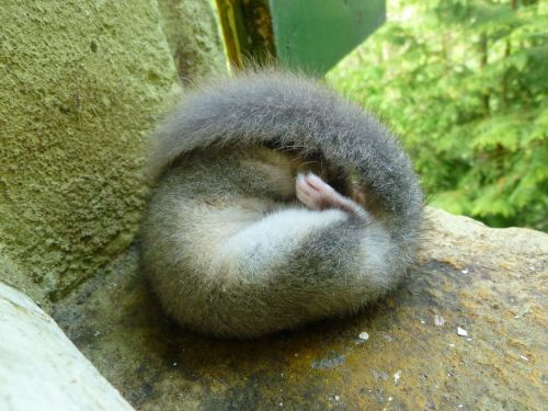 edible dormouse sleep furry