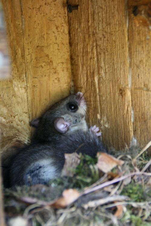 edible dormouse rodent nocturnal