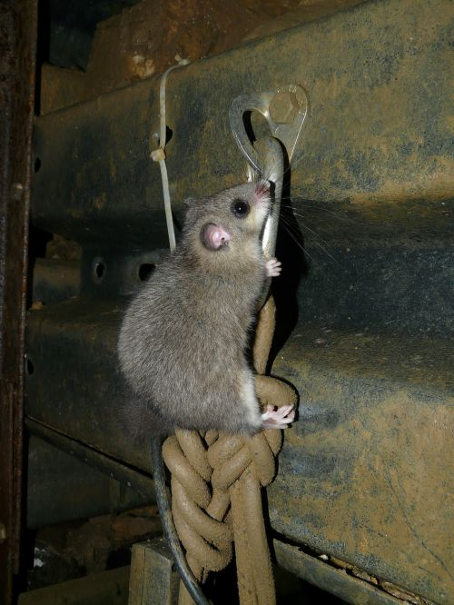 edible dormouse rodent glis glis
