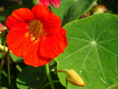 edible flowers nasturtium edible
