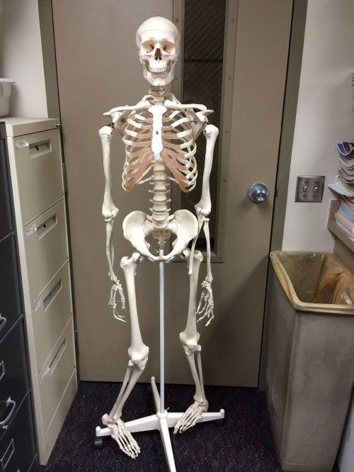 Educational Human Skeleton