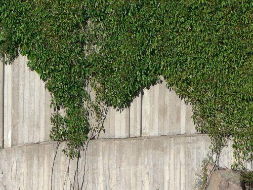 efae climber plant