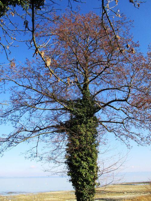 efeuranke ivy tree