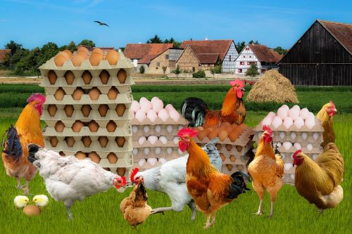 egg farm chicken