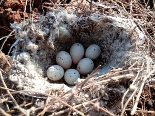 egg nest song bird
