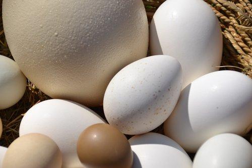 egg  basket  ostrich egg