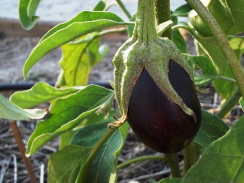 eggplant fruit orchard