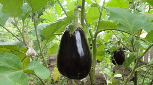 eggplant plant agriculture