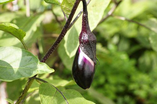 eggplant harvest vegetables