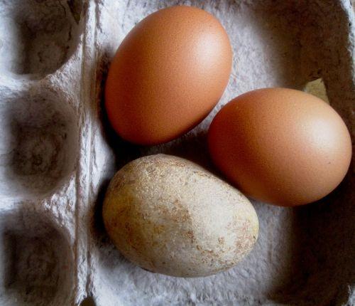 eggs chicken stone