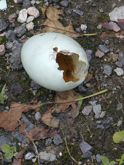 eggs broken shell