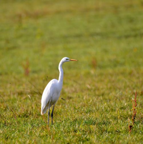 egret nature bird